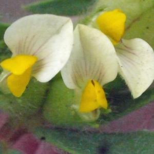 Tripodion tetraphyllum (L.) Fourr. (Anthyllide à quatre feuilles)