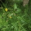 Florent Beck - Sonchus asper (L.) Hill