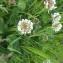Nicolas Sennavoine - Trifolium repens L. [1753]