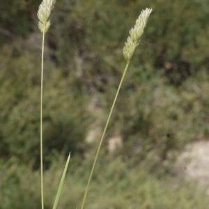 - Dactylis glomerata subsp. hispanica (Roth) Nyman [1882]