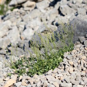 Photographie n°135337 du taxon Rumex scutatus L. [1753]