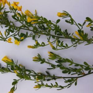 Photographie n°135352 du taxon Jasminum fruticans L. [1753]