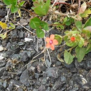 Photographie n°135829 du taxon Mouron des champs