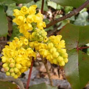 Berberis aquifolium Pursh (Mahonia à feuilles de houx)