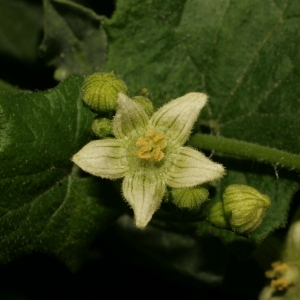 Photographie n°140846 du taxon Bryonia dioica Jacq. [1774]