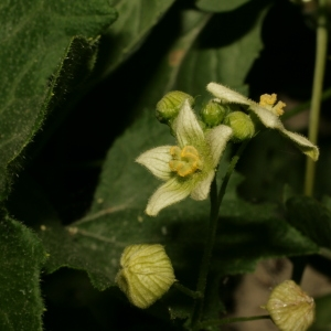 Photographie n°140847 du taxon Bryonia dioica Jacq. [1774]