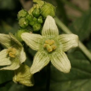 Photographie n°140849 du taxon Bryonia dioica Jacq. [1774]