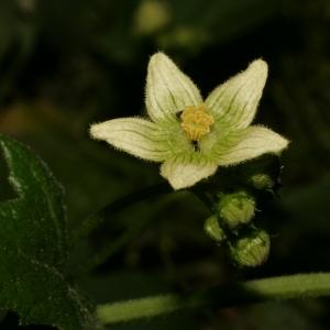 Photographie n°140851 du taxon Bryonia dioica Jacq. [1774]