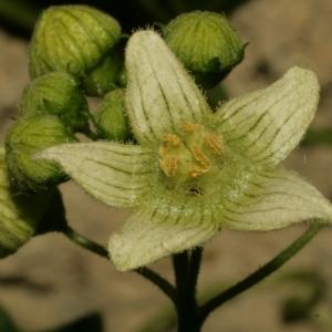 Photographie n°140853 du taxon Bryonia dioica Jacq. [1774]
