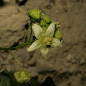 Photographie n°140854 du taxon Bryonia dioica Jacq. [1774]