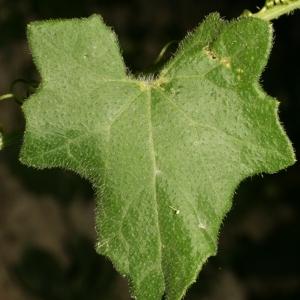 Photographie n°140855 du taxon Bryonia dioica Jacq. [1774]
