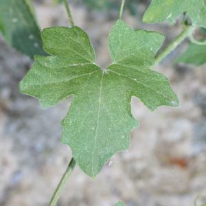 Photographie n°140858 du taxon Bryonia dioica Jacq. [1774]