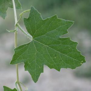 Photographie n°140866 du taxon Bryonia dioica Jacq. [1774]