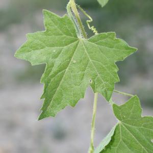 Photographie n°140867 du taxon Bryonia dioica Jacq. [1774]