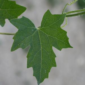 Photographie n°140868 du taxon Bryonia dioica Jacq. [1774]