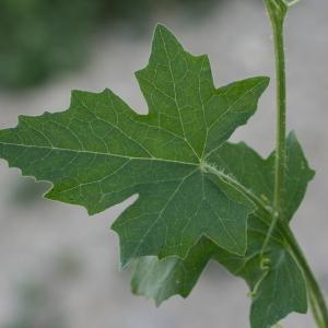 Photographie n°140869 du taxon Bryonia dioica Jacq. [1774]