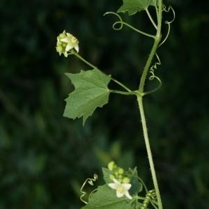 Photographie n°140870 du taxon Bryonia dioica Jacq. [1774]