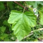 Physocarpus opulifolius (L.) Raf. (Physocarpe)