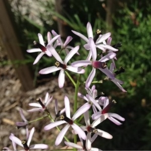Melia azedarach L. (Lilas des Indes)