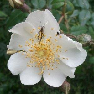 Photographie n°141037 du taxon Rosa canina L. [1753]