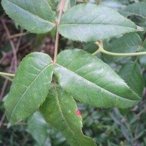 Photographie n°141038 du taxon Rosa canina L. [1753]