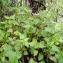 Emmanuel Stratmains - Lamium maculatum (L.) L.