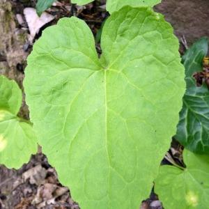 Photographie n°141079 du taxon Lunaria annua L.