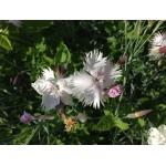 Dianthus plumarius L. (Mignonnette)