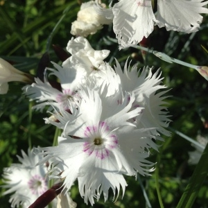 Photographie n°141177 du taxon Dianthus plumarius L.
