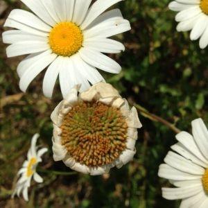 Photographie n°141241 du taxon Leucanthemum vulgare Lam. [1779]