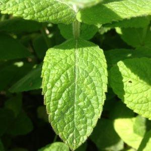Photographie n°141266 du taxon Mentha longifolia (L.) Huds. [1762]