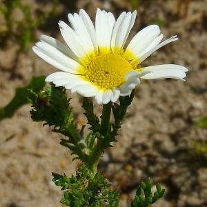 Anthemis coronopifolia Willd. (Anthémis panachée)