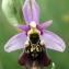 Corentin BONNARD - Ophrys fuciflora (F.W.Schmidt) Moench [1802]