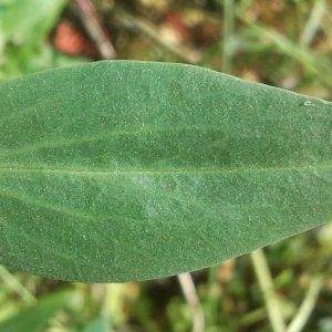 Photographie n°143448 du taxon Centranthus ruber (L.) DC. [1805]