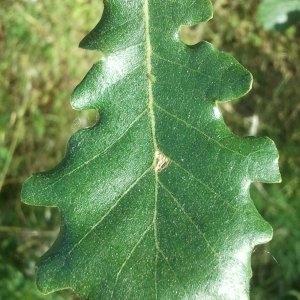 Photographie n°143557 du taxon Quercus pubescens Willd. [1805]