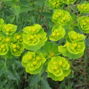Photographie n°145888 du taxon Euphorbia serrata L. [1753]