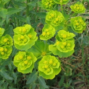 Photographie n°145889 du taxon Euphorbia serrata L. [1753]