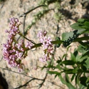 Photographie n°146131 du taxon Centranthus trinervis (Viv.) Bég. [1903]
