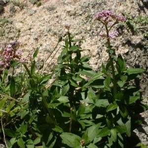 Photographie n°146135 du taxon Centranthus trinervis (Viv.) Bég. [1903]
