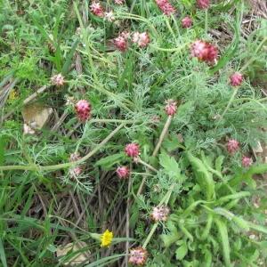 Photographie n°146235 du taxon Platycapnos spicata (L.) Bernh.