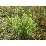 Ambrosia tenuifolia Spreng. (Ambroisie à petites feuilles)