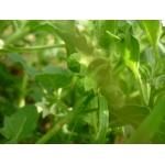 Solanum physalifolium Rusby