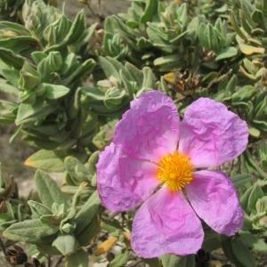 Photographie n°146409 du taxon Cistus albidus L. [1753]