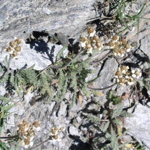 Photographie n°146423 du taxon Achillea nana L. [1753]