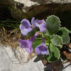 Photographie n°146426 du taxon Primula marginata Curtis