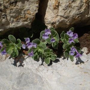 Photographie n°146427 du taxon Primula marginata Curtis