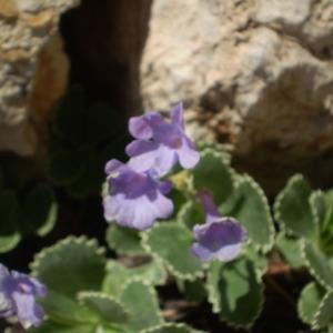 Photographie n°146428 du taxon Primula marginata Curtis