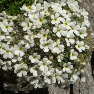 Photographie n°146430 du taxon Androsace pubescens DC.