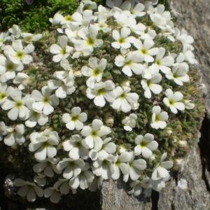 Photographie n°146432 du taxon Androsace pubescens DC.