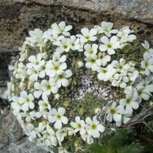 Photographie n°146436 du taxon Androsace pubescens DC.